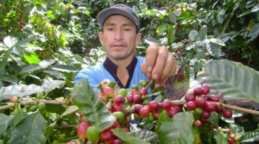 Senasa: Incidencia de la plaga roya amarilla del café disminuyó en 17%