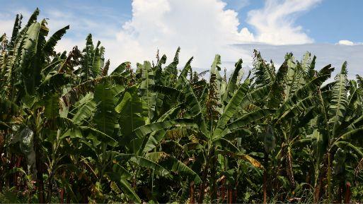 Cultivo de plátanos en Tumbes. (Foto: USI).
