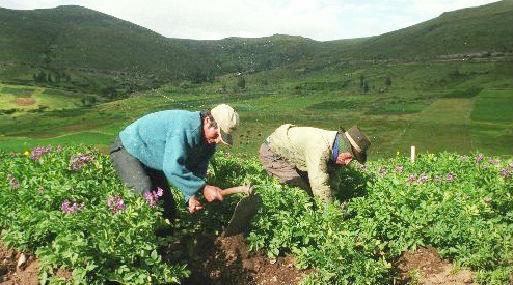 La producción agropecuaria empieza a recuperarse tras los efectos de El Niño Costero (foto: Minagri).
