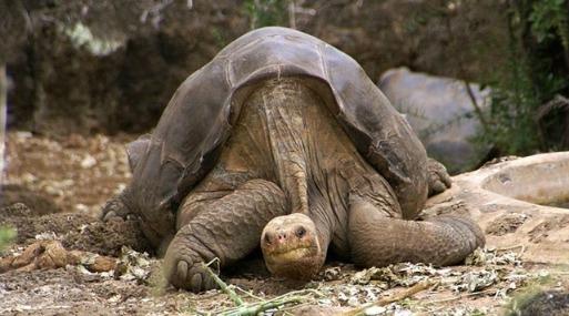 Bustos dijo que en cinco años las primeras tortugas originales de Floreana podrán recuperar su hábitat.