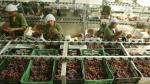 Productores de Ica conquistan 105 países en todo el mundo - Noticias de mango