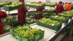 Exportaciones de uva de mesa caen un 10% debido a El Niño Costero - Noticias de superávit comercial