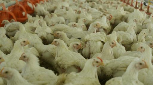 85% de los veinte principales países productores de carne de pollo dijeron tener un plan de salud al respecto, según la FAO. (Foto: Reuters)